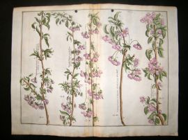 Langley 1729 LG Folio Hand Col Botanical Print. Chery Trees, Fruit 12 & 13